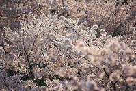 2017 桜 №5 - 万願寺通信