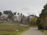 城跡の桜 - 冬青窯八ヶ岳便り