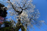 天益寺 枝垂れ桜 - ちょっとそこまで