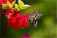 ツツジ華やかに開花、アゲハもやってきて… - 気ままにデジカメ散歩