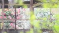 原谷苑のお花達〜窓のある風景〜 - *PHOTOMOMIN*