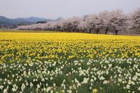 桜だより(12) 東吾妻町 水仙と桜 (撮影日:2017/4/17) - toshiさんの気まぐれフォトブログ