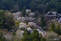 一躍の春:8:桜花の社 - walk with my Camera