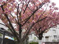 八重桜 - エンジェルの画日記・音楽の散歩道