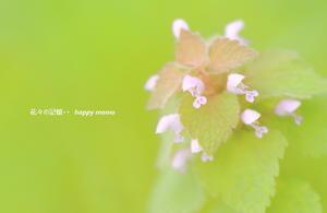 ヒメオドリコソウ - 花々の記憶