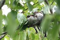 エナガの団子 - 野鳥公園