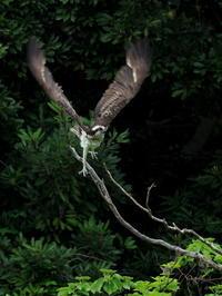 久々のミサチャン - 気ままな野鳥観察