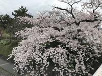春の京都、鴨川沿いの桜 - ニューヨークで働く&子育て