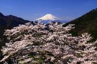 29年4月の富士(22) 桜と富士  - 富士への散歩道 ~撮影記~