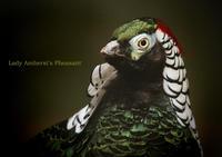 ギンケイ:Lady Amherst's Pheasant - 動物園の住人たち写真展
