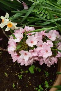 自宅の庭も花盛り - pottering