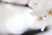 京都岡崎の桜2017 その4 - 春の風