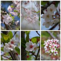 名残りの桜 ~ 小田原城 - 季節の風を追いかけて