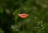 オレンジ色のポピー。 - Season of petal