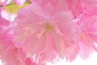 八重桜ぽてぽて♪ - 今日もカメラを手に・・・♪