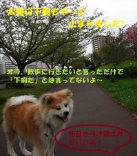 初2頭引き🎵 - もももの部屋(家族を待っている保護犬たちと我家の愛犬のブログです)