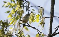 MFの森でのセンダイムシクイ - 私の鳥撮り散歩