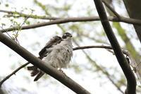 オオタカ 羽繕い - 気まぐれ野鳥写真