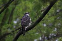 オオタカ 新緑の枝止まり - 気まぐれ野鳥写真