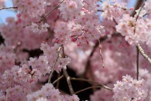 """""""美""""  枝垂れ桜のしたで - 野山の散策"""