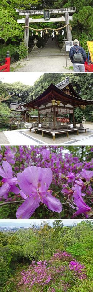 城陽・水度神社と鴻巣山のミツバツツ(4月20日) - 哲のphoto box