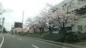 今年の桜は( ´∀`) - 脱毛・ネイル専門アンジェリ・スタッフブログ