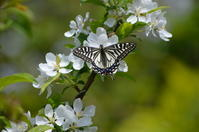 ナミアゲハ 4月22日 - 超蝶