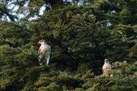 オオタカ 04月16日 - 旧サンヨン(Nikon 300mm f/4D)野鳥撮影放浪記