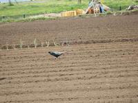 キジが畑を悠々と横断 - 西多摩探鳥散歩