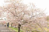 4月22日 八重桜 @那珂静峰公園 - Precious Days ~ふたりで~Ⅱ