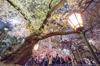 桜ノ宮 造幣局 桜の通り抜け_夜桜 - シセンのカナタ