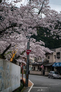 Sakura2017 *02 / 笠置の桜 - noBBy's *PhotoLabo*