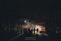 #187 夜桜 - PhotoPhoto Life