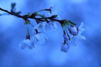 桜雨 - 君がいた風景
