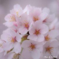 sakura - Une fleur