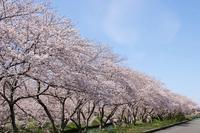 近所の桜並木・1♪ - happy-cafe*vol.2