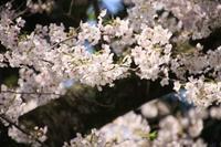 近所の桜並木・2♪ - happy-cafe*vol.2