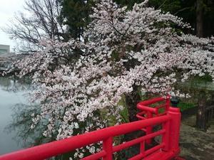 本日花見!🌸🍶?桜7~8分咲き - 丸玉の店主ブログ