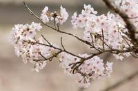 上郡町のサクラ - うちのまわりの自然新聞
