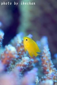 テーマをもって ~ネッタイスズメダイ幼魚~ - 池ちゃんのマリンフォト