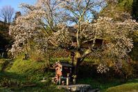 北向き地蔵桜 - ちょっとそこまで