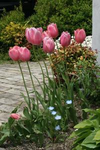 チューリップが咲きました - いつかの空