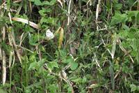 ■ ツマキチョウ   17.4.22 - 舞岡公園の自然2