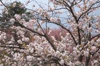 静峰ふるさと公園  八重桜 - 初めての一眼レフカメラ キヤノンKissX7→6Dへ