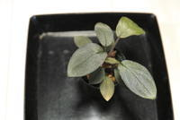 "Homalomena sp. 'サンシャインBNN' ""Sibolga timur"" - PlantsCade -2nd effort"