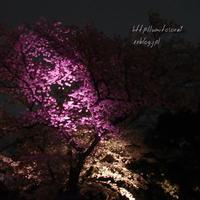 京の春*夜桜 - 一瞬をみつめて