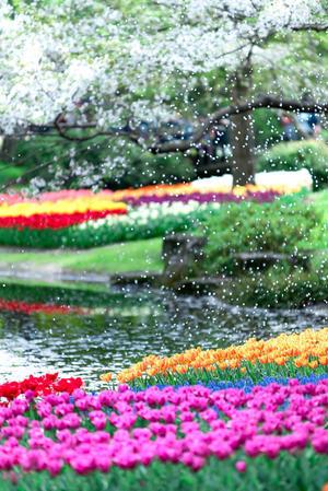 170416_Tulip@昭和記念公園 - ike-h325_blog