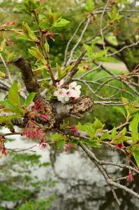 今井の桜 花のあと - pottering