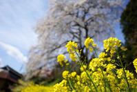 内出の桜 - 四十の手習い 自転車と写真が好き