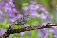 クロジ - 武蔵野の野鳥